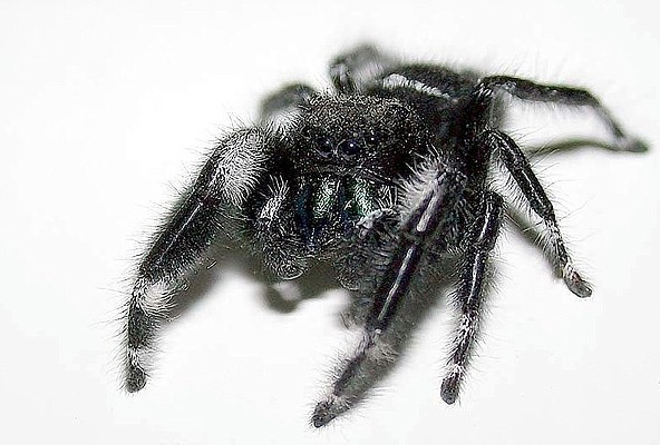 Photograph of a black jumping spider.