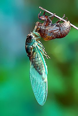 Photograph of a newly emerged periodical cicada.