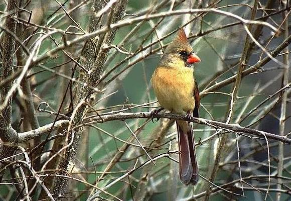 Photograph of a female cardinal.