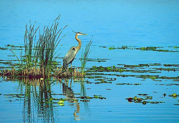 Photograph of a great blue heron.