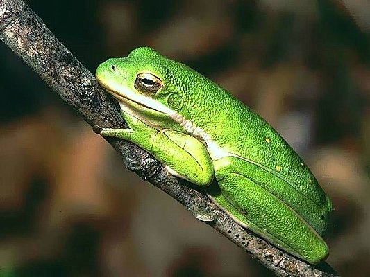 Photograph of a green treefrog.
