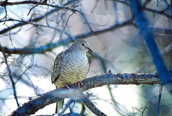 Picture of an Inca dove.