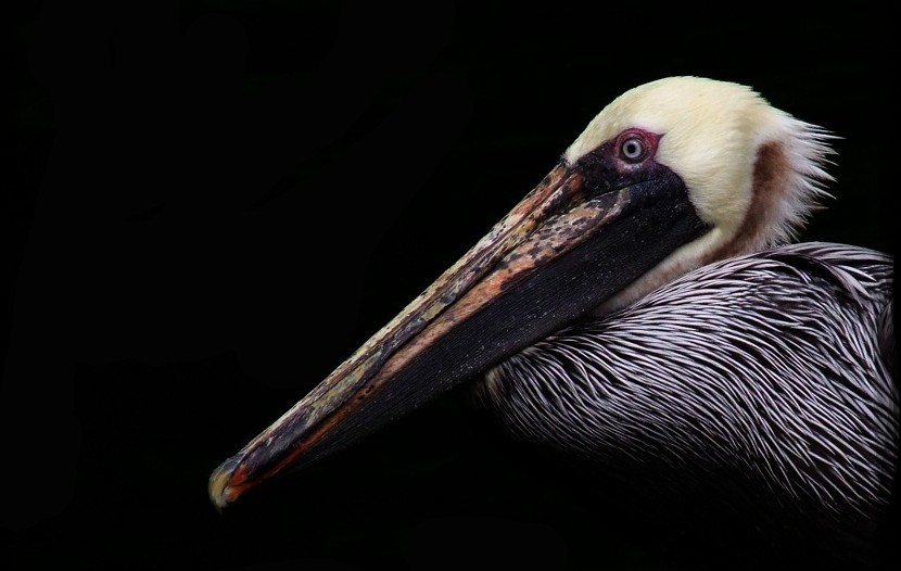 Photo of a brown pelican. Portrait photograph of brown pelican.