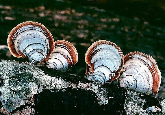 Picture of a turkey tail fungi.