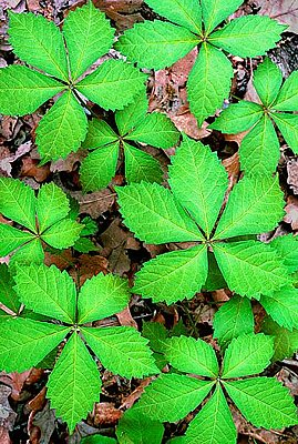 Picture of Virginia Creeper Leaves.