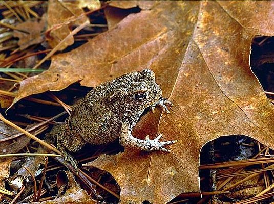 Picture of a Woodhouse's toad at the Ouachita National Forest, Oklahoma.
